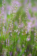 heather field background - stock photo
