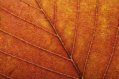macro of autumn leaf - stock photo