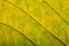 macro of autumn leaf - stock photo