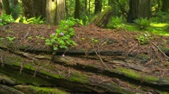 Fallen redwood in forest Stock Footage