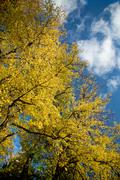 Beautiful autumn tree against blue sky Stock Photos