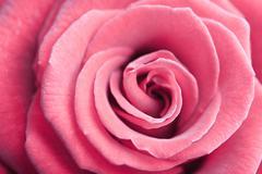 beautiful pink rose background - stock photo