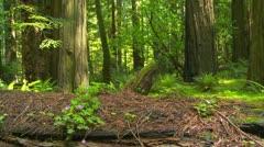 Fallen redwood tree in forest Stock Footage