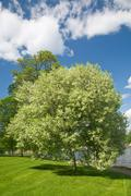 Blooming bird cherry tree Stock Photos