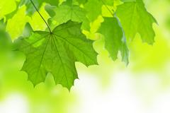 Frame of maple leaves isolated Stock Photos