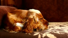 Dog sleeping, then wakes up Stock Footage