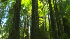 Stock Video Footage of Looking up at sky in redwood forest
