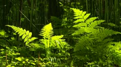 Closeup of ferns in redwood forest Stock Footage