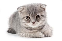 British kitten isolated on white Stock Photos