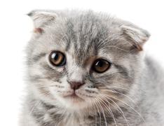 British kitten isolated on white Stock Photos