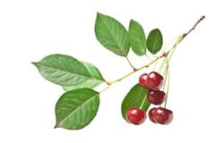 Stock Photo of branch with berries cherry isolated