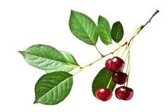 Branch with berries cherry isolated Stock Photos