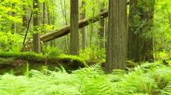 Fallen redwood tree in forest Stock Footage