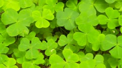 Closeup of redwood sorrel Stock Footage