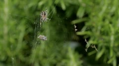 Spider with prey Stock Footage