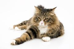 Maine coon cat with bored expression Stock Photos