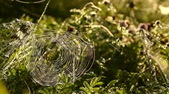 Stock Video Footage of Natural meadow in the morning with a cobweb and clovers, bright sunlight