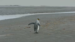 King Penguin picks up sea weed - stock footage