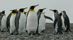 Closeup of King Penguin colony Stock Footage