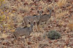 Greater kudus (tragelaphus strepsiceros) Stock Photos
