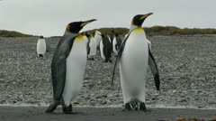 Penguins walk toward camera - stock footage