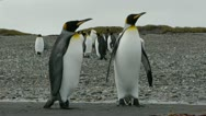Stock Video Footage of Penguins walk toward camera