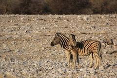 Plains zebras (equus quagga) Stock Photos