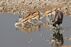 gemsbok and springbok - stock photo