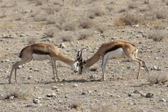 Fighting springbok (antidorcas marsupialis) Stock Photos