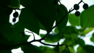 Stock Video Footage of The dense branches foliage & fruit covered sky,sunlight through leaves.