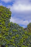 ivy leaves and blue sky with clouds - stock photo