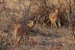 Two steenbok (raphicerus campestris) Stock Photos