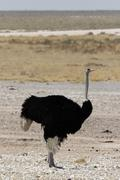 Ostrich (struthio camelus) Stock Photos