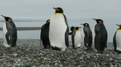 Closeup dolly shot of King penguins - stock footage