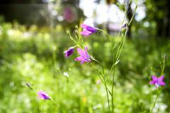 Stock Photo of purple wildflowers