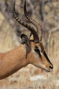 black-faced impala (aepyceros melampus petersi) - stock photo