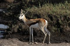 Springbok (antidorcas marsupialis) Stock Photos