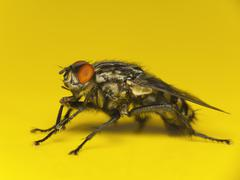 House fly macro - stock photo