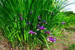 Blooming irises Stock Photos
