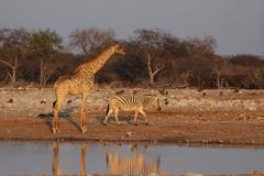 giraffe (giraffa camelopardis) and plains zebra (equus quagga) - stock photo