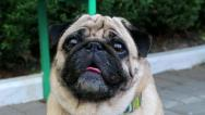 Stock Video Footage of Pug dog