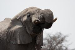 Elephant (loxodonta africana) Stock Photos