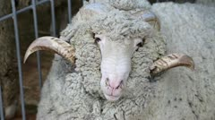 White sheep with big horns Stock Footage