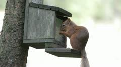Red Squirrel (Sciurus vulgaris), Scotland Stock Footage