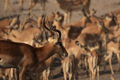 black-faced impalas (aepyceros melampus petersi) - stock photo