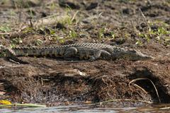 nile crocodile (crocodylus niloticus) - stock photo