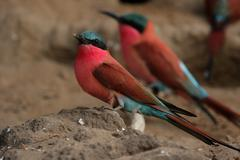 carmine bee-eaters - stock photo