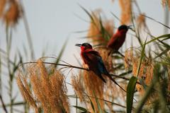 carmine bee-eaters (merops nubicoides) - stock photo