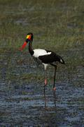 Stock Photo of saddle-billed stork (ephippiorhynchus senegalensis)