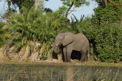 elephant (loxodonta africana) - stock photo